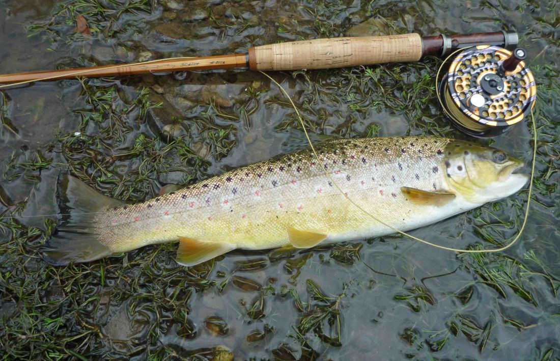 Brown trout and cane rod